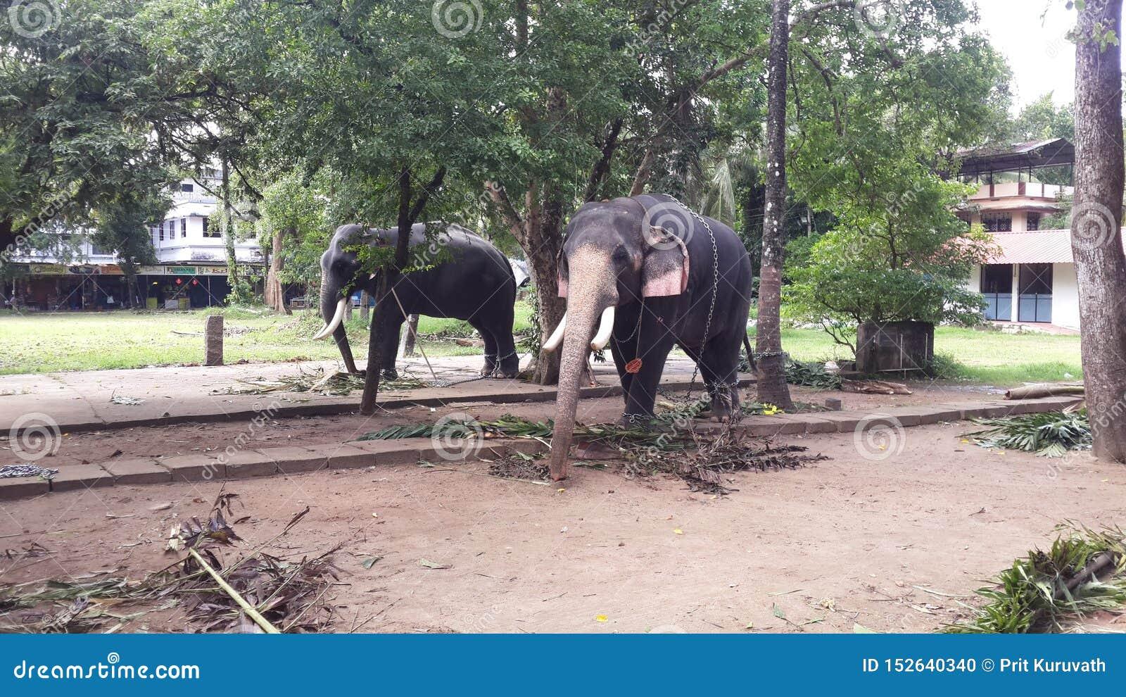 Elefantes no templo Kerala de Guruvayur