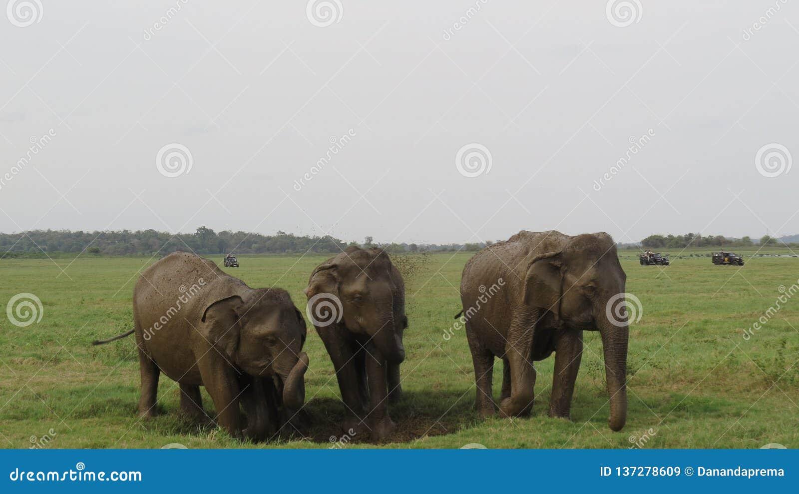 3 elefantes que disfrutan de un baño de fango junto