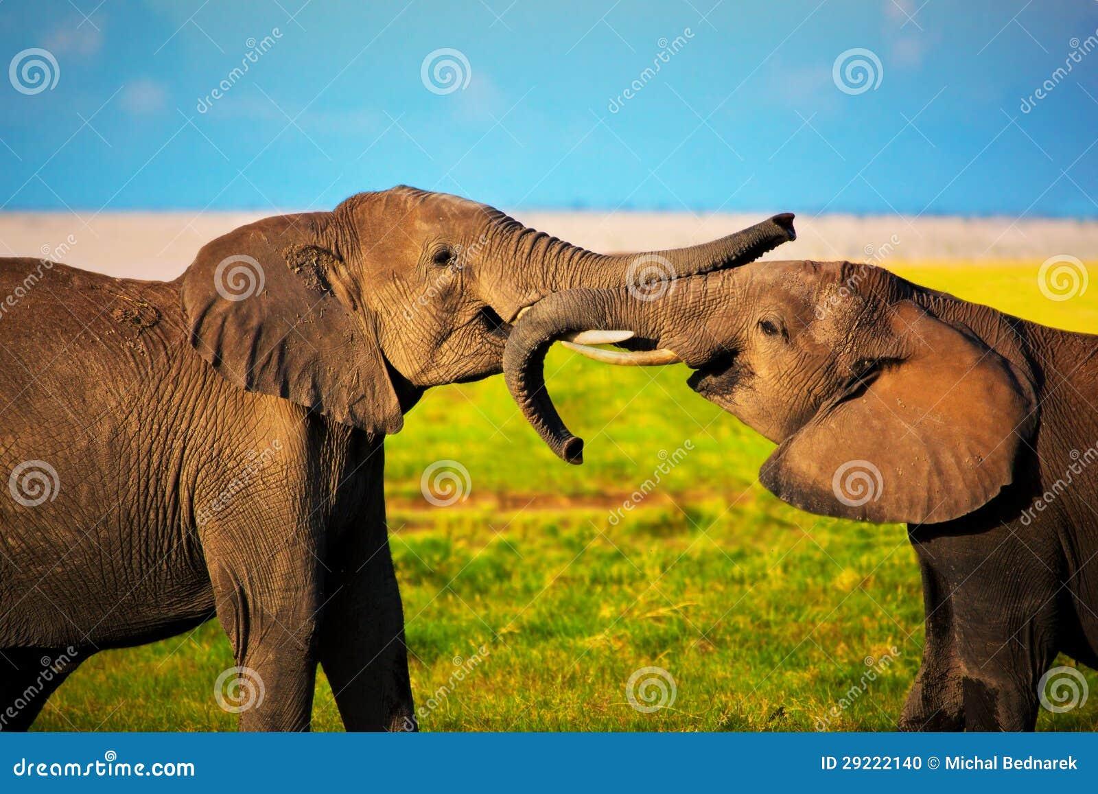 Elefantes que jogam no savanna. Safari em Amboseli, Kenya, África