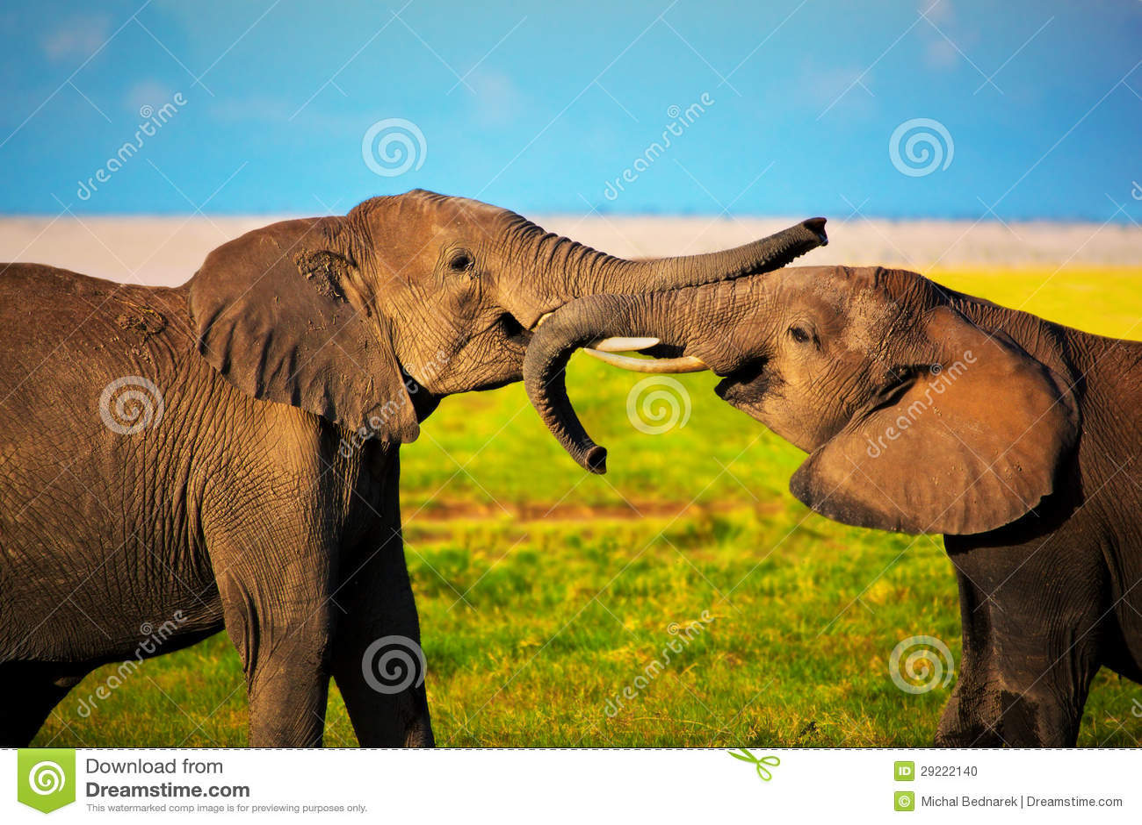 Elefantes que juegan en sabana. Safari en Amboseli, Kenia, África