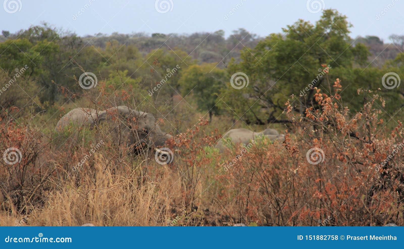 Elefantes salvajes de Forest And Long Tusk Africa