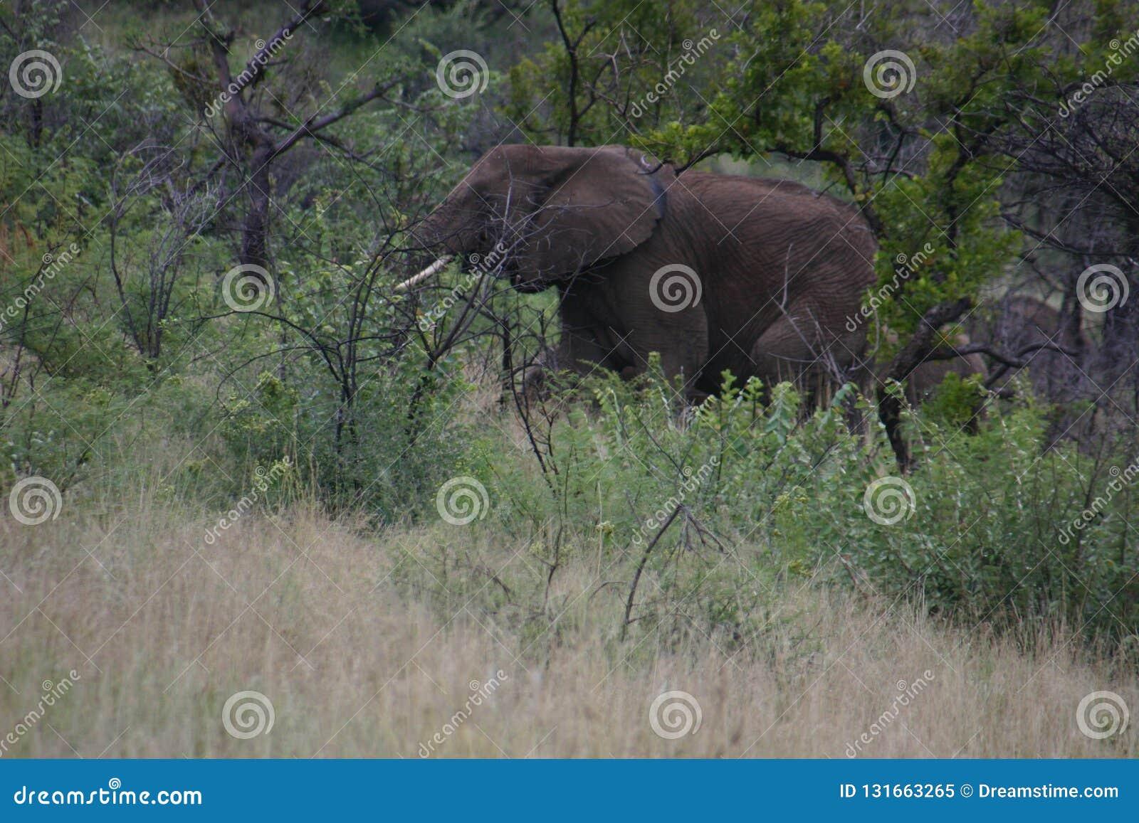 Elefantherumsuchen