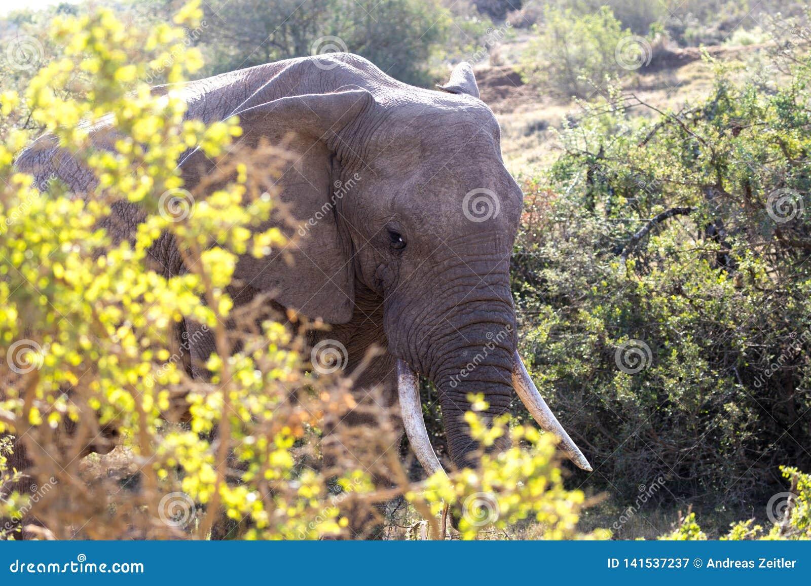 Elefanti in Addo Elephant National Park Port Elizabeth - nel Sudafrica