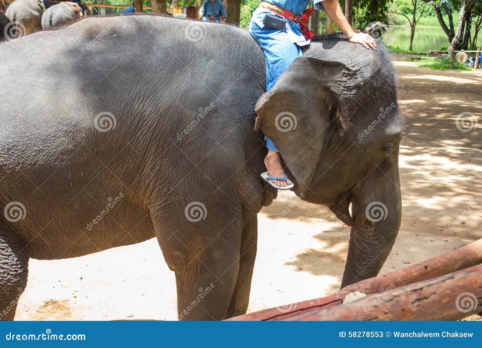 Elefanti asiatici al centro tailandese di conservazione - Elefante foglio di colore dell elefante ...