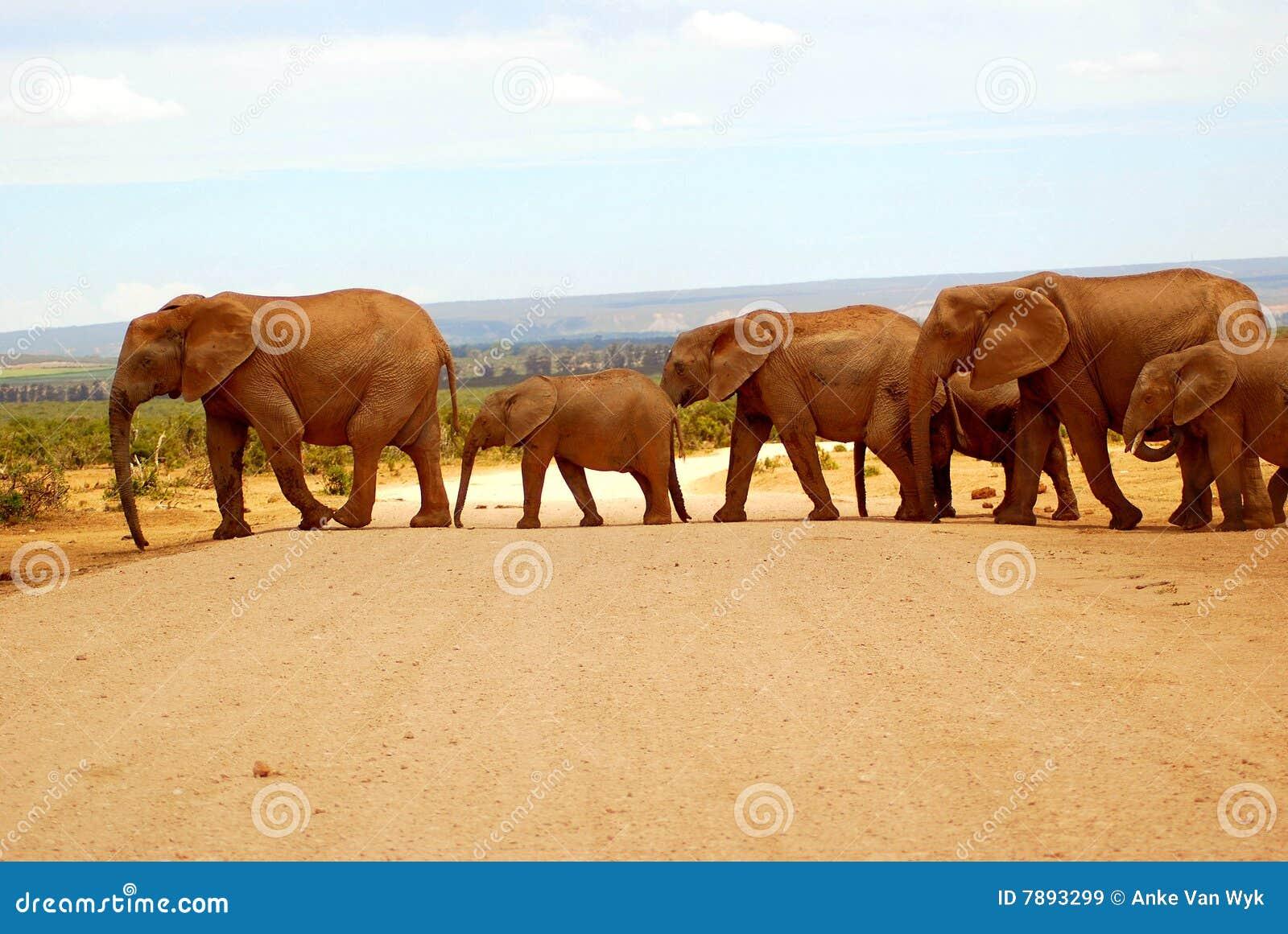 Elefanti che attraversano strada