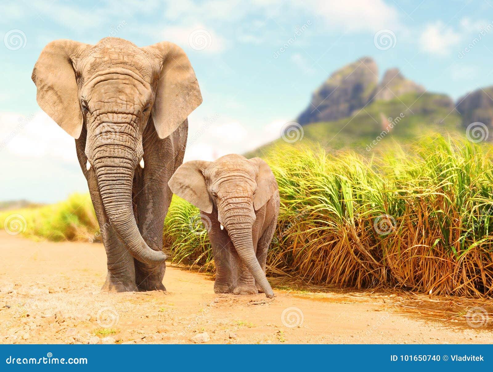 Elefanti di Bush dell Africano - famiglia di loxodonta africana