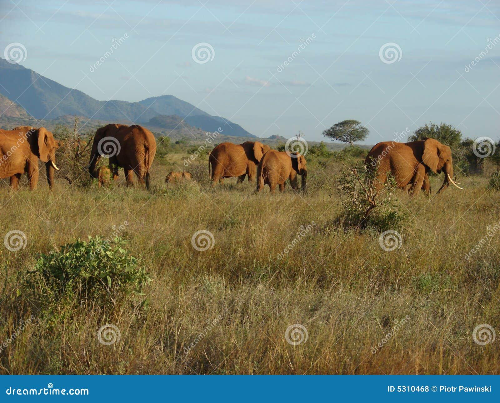 Download Elefanti sulla savanna fotografia stock. Immagine di corsa - 5310468