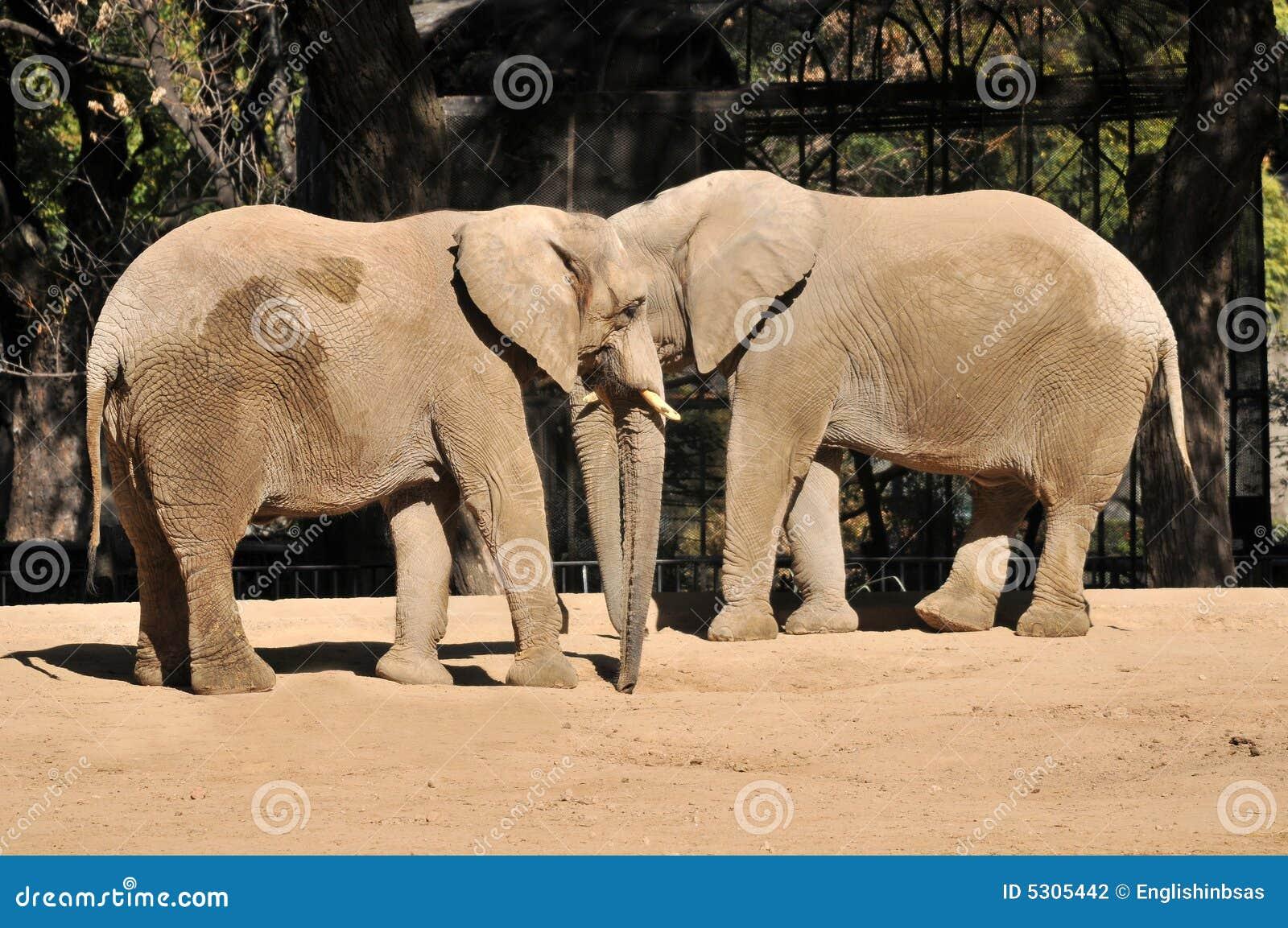 Download Elefanti In Un Giardino Zoologico Fotografia Stock - Immagine di mammifero, orecchi: 5305442