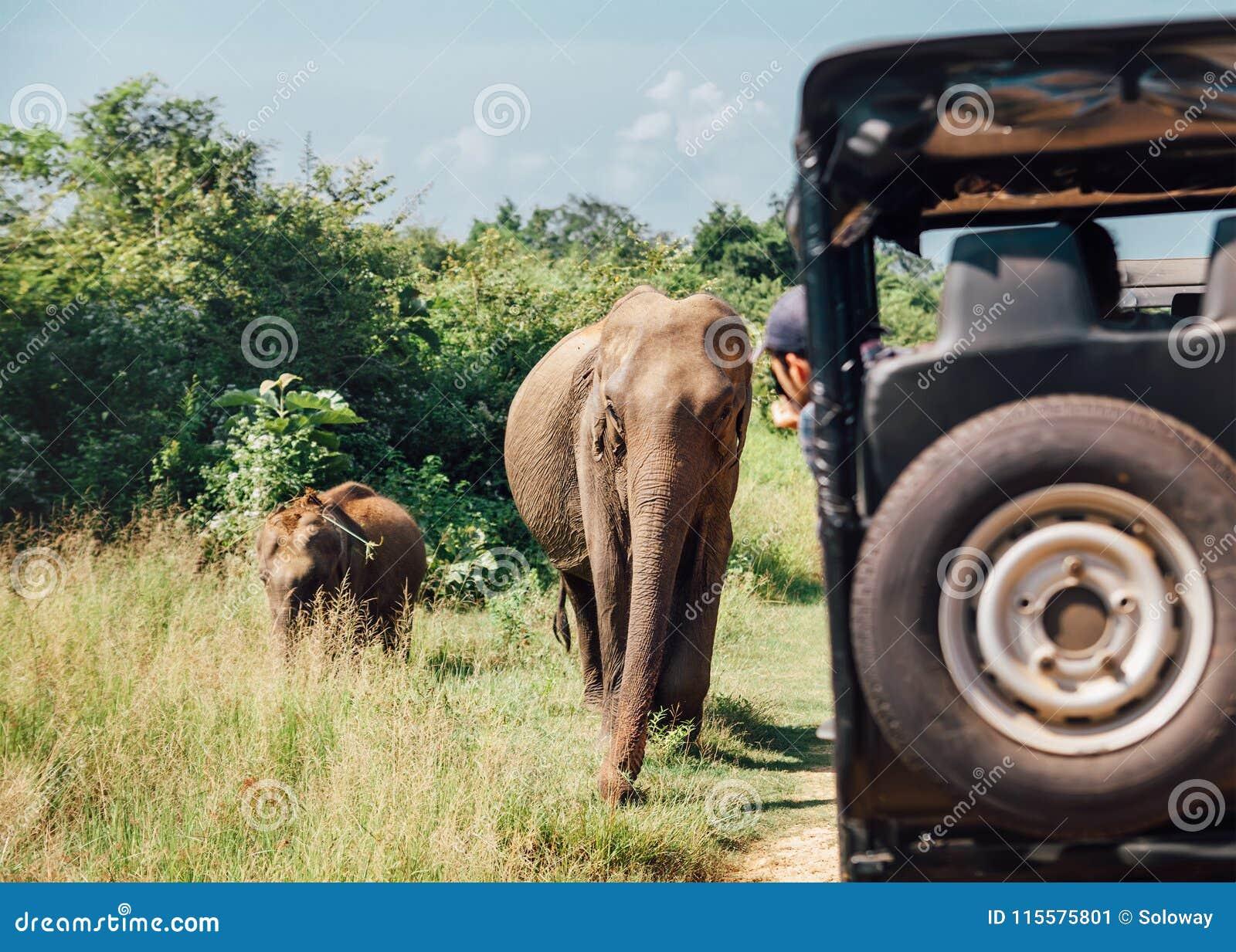 Elefants sul safari nel parco naturale nazionale Udawalawe in Sri liscio
