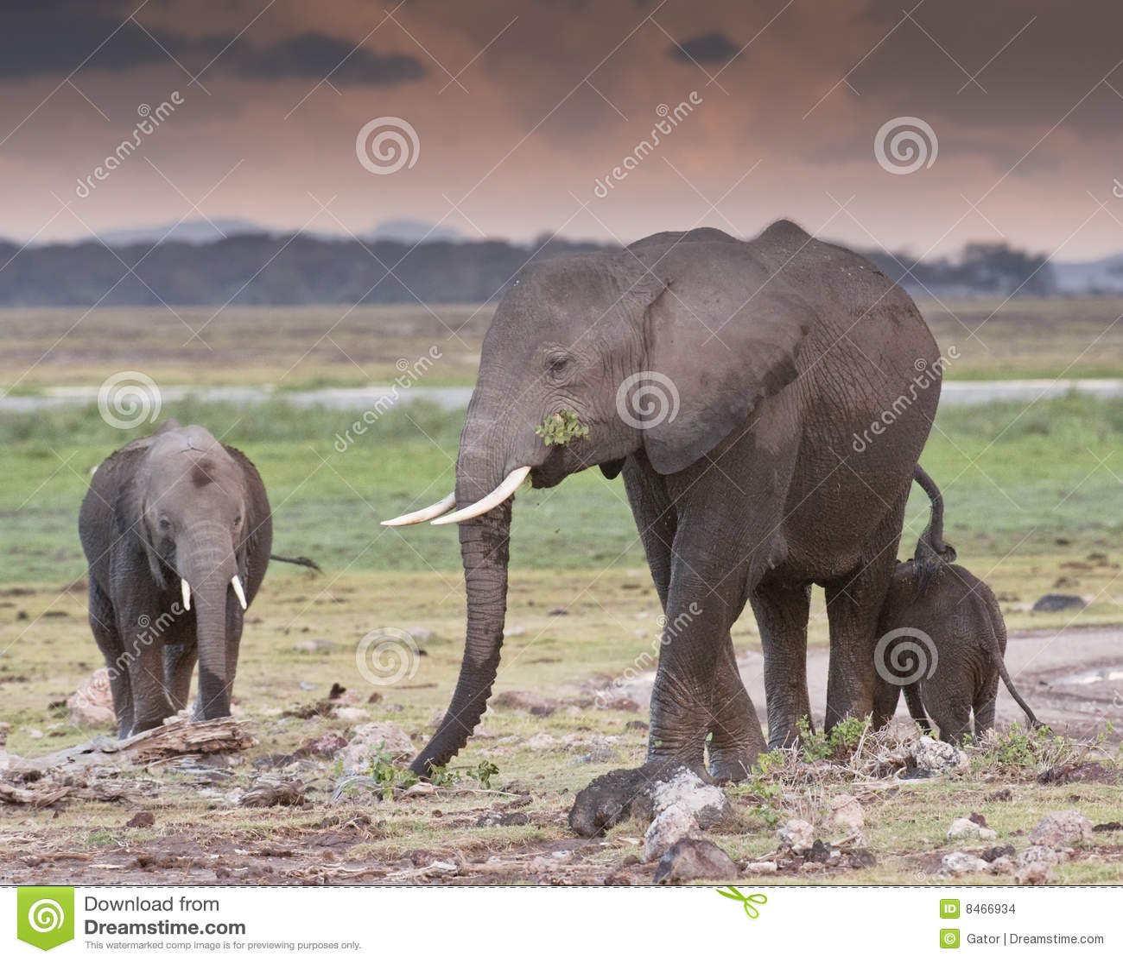 Elefantskymning