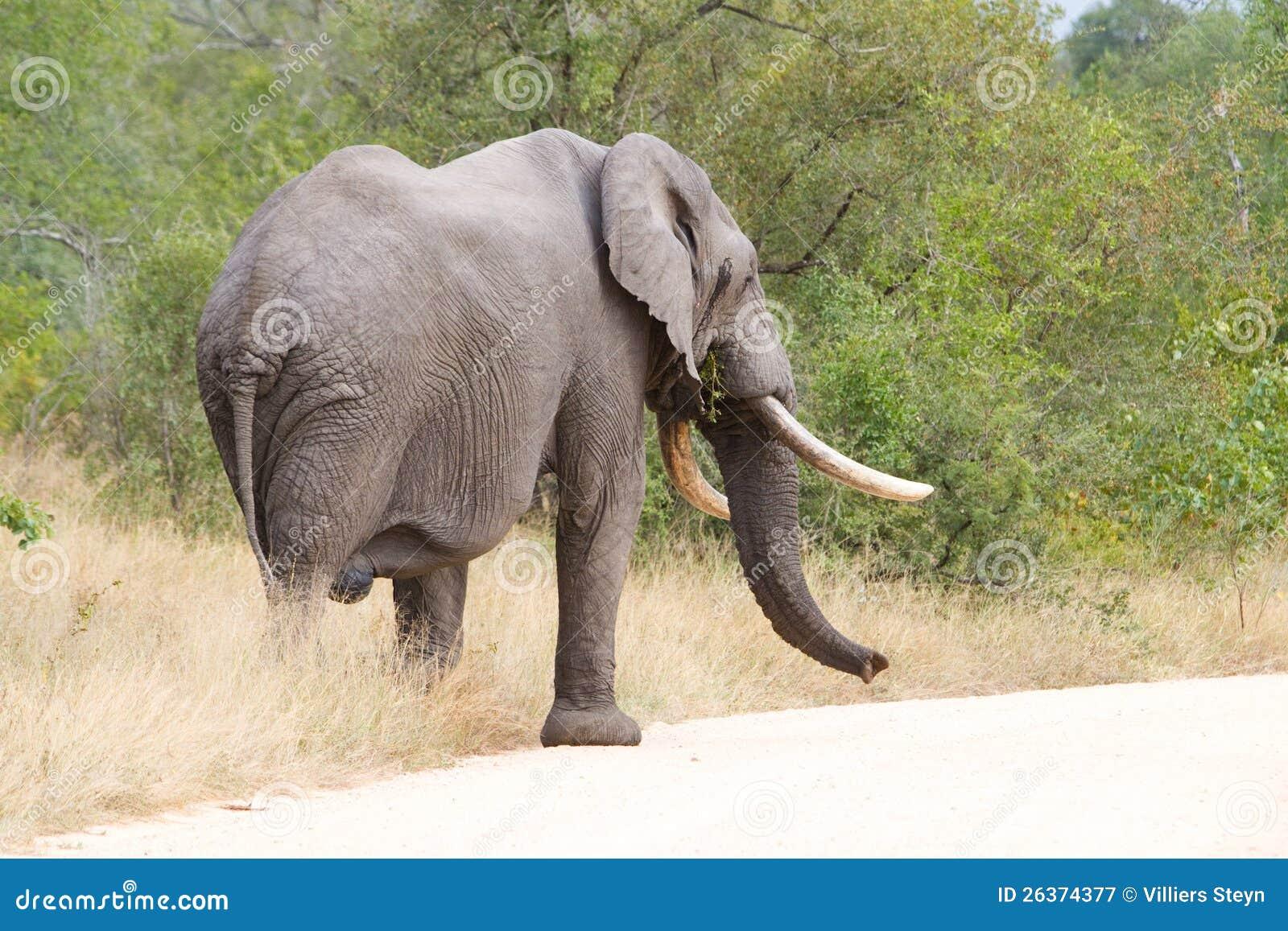Elefantstier