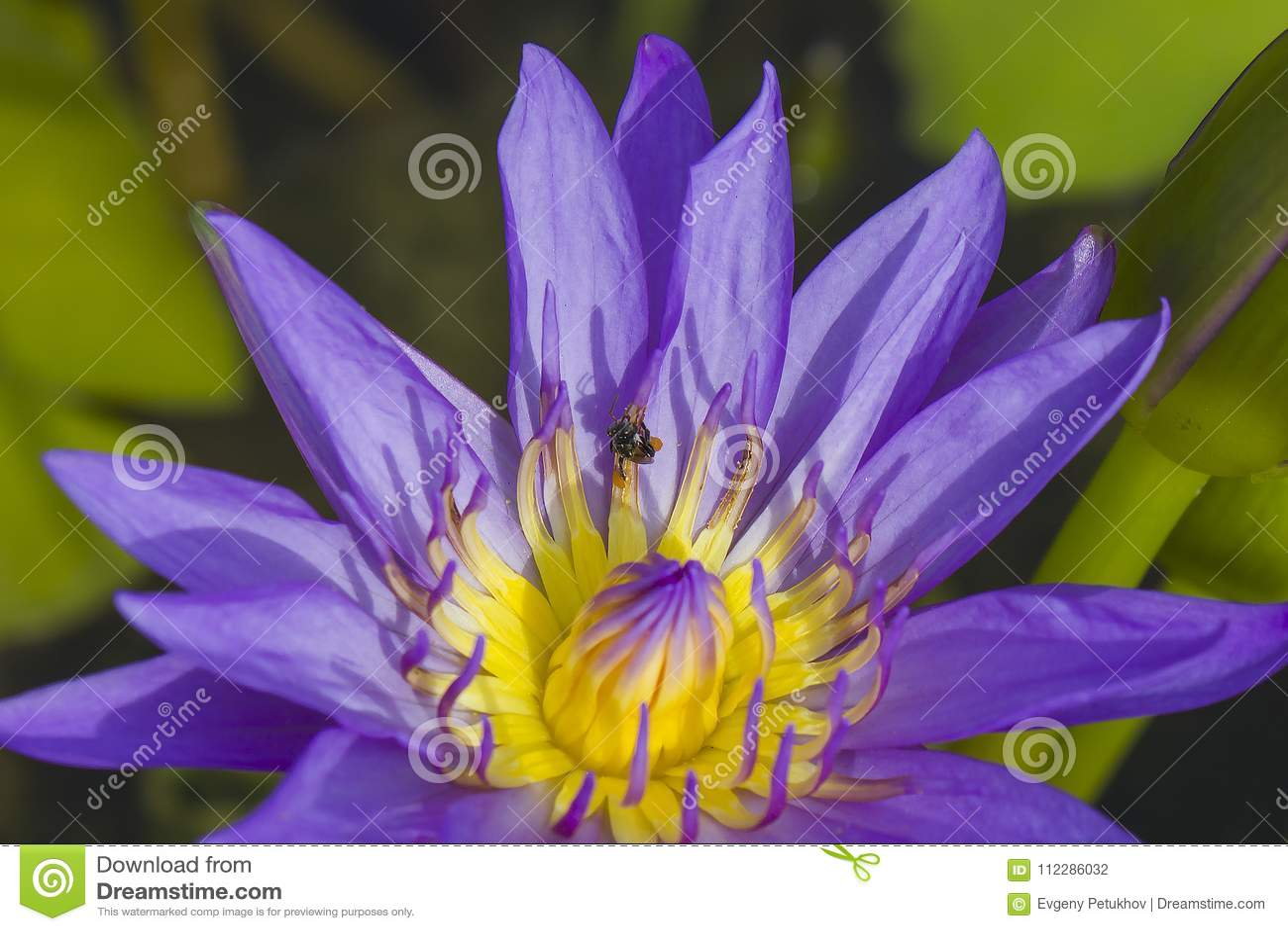 Elegant Blue Lily Flower Lotus In Water The Lotus Flower Water Lily