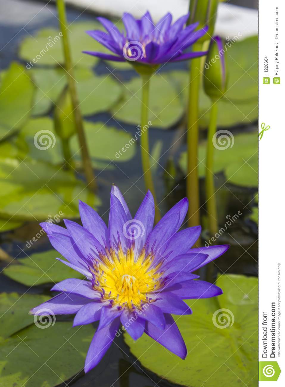 Elegant Blue Lily Flower Lotus In Water The Lotus Flower Water Lily