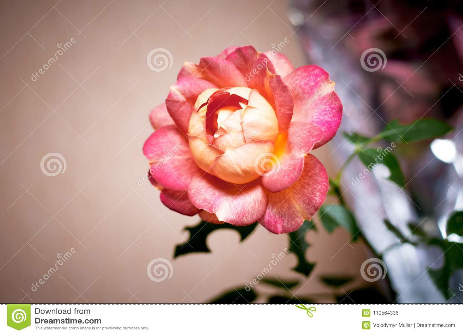 Elegant Flower Of Rose, Gift For Holiday, Wedding, Birthday Stock ...