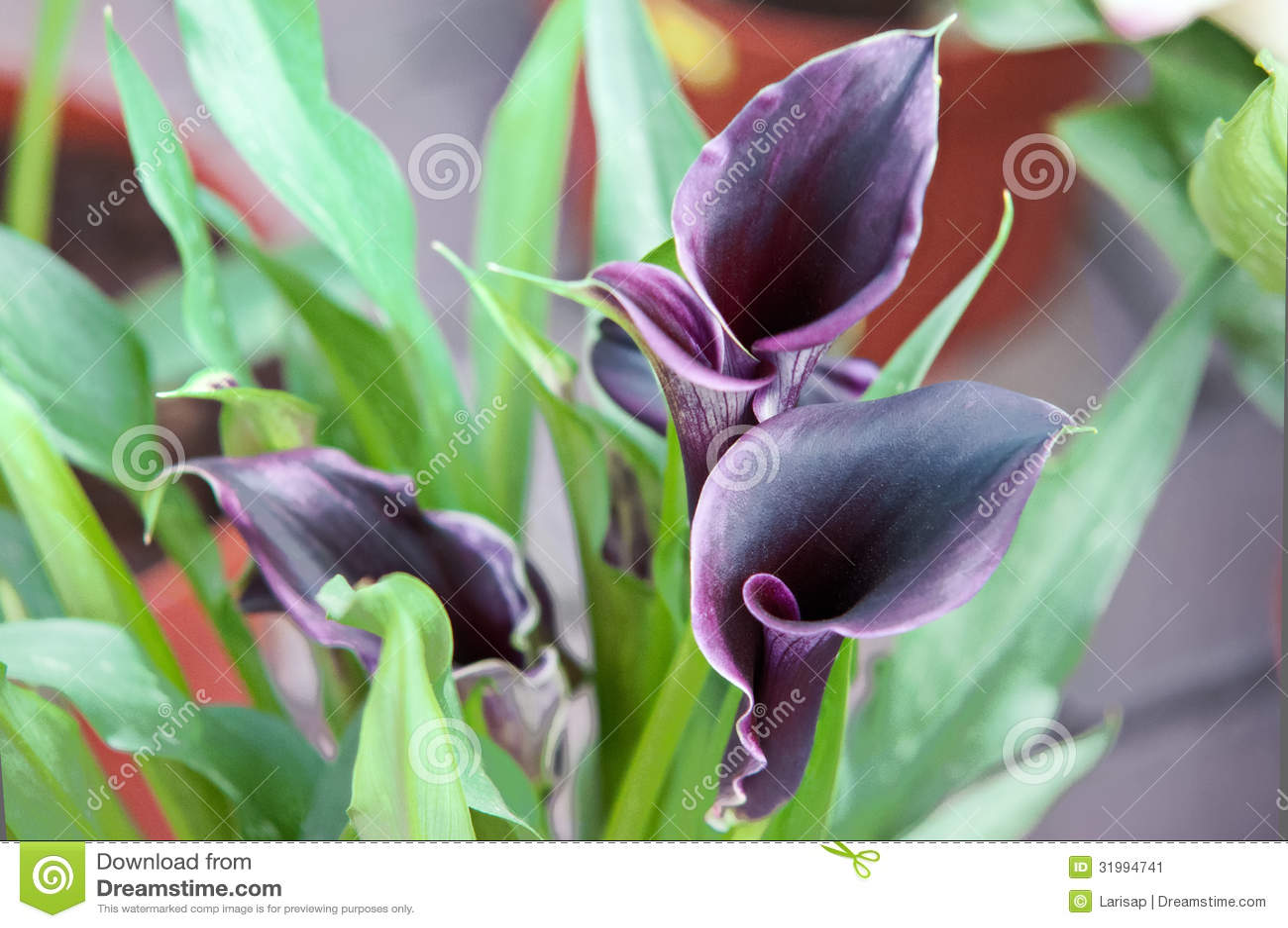 Elegant purple calla lily stock image image of life bloom 31994741 download comp izmirmasajfo