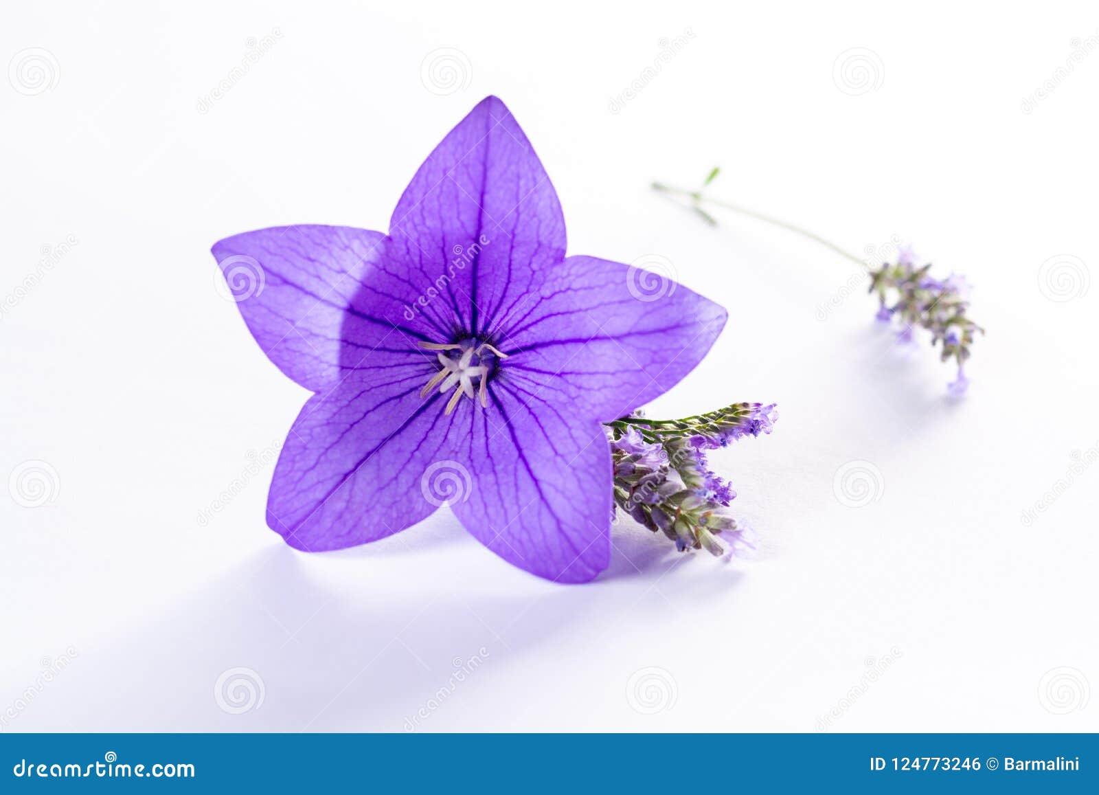 Elegant Small Boutonniere From Purple Balloon Flower Fresh Cut