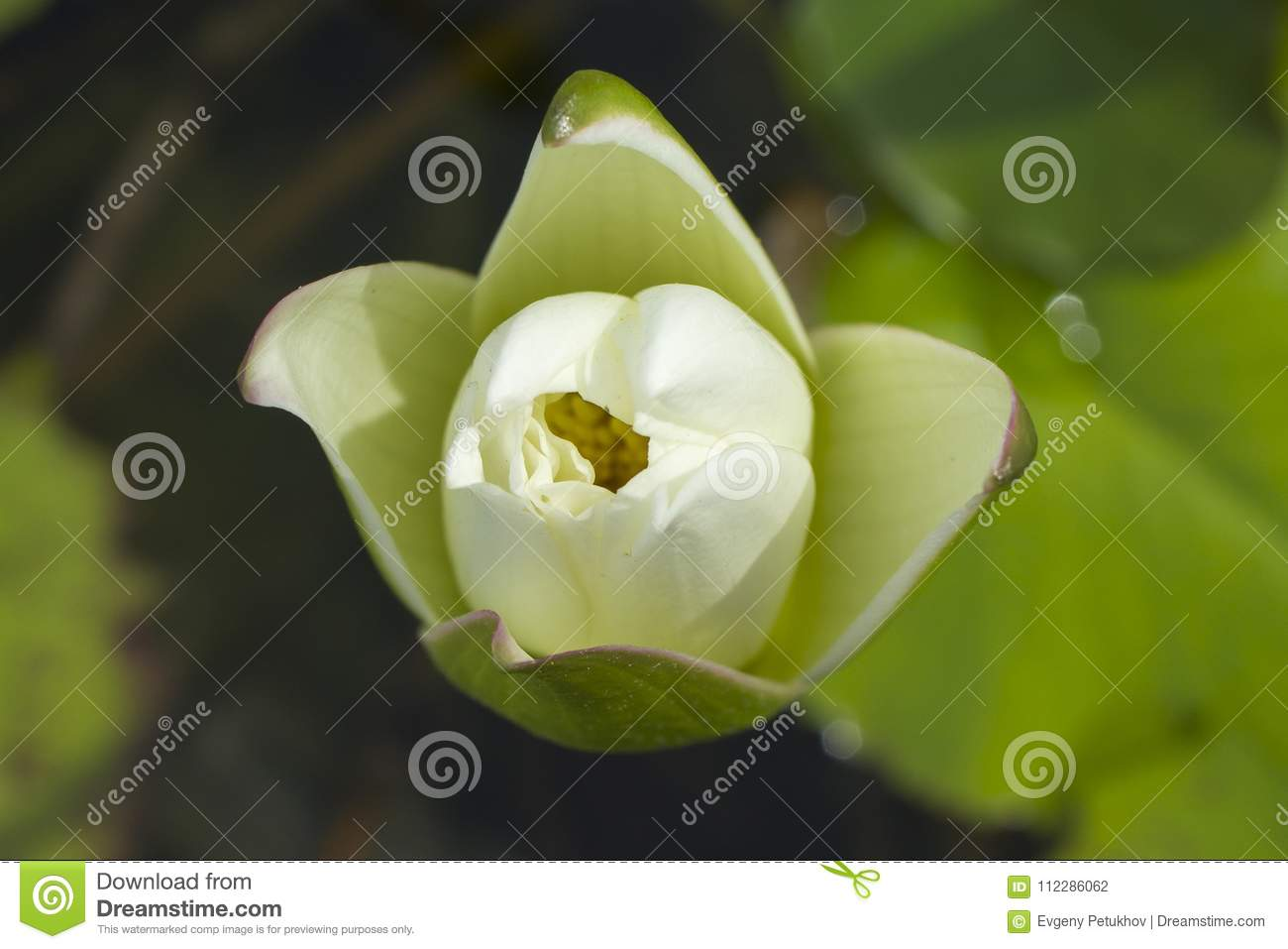 Elegant white lily flower lotus in water the lotus flower water download elegant white lily flower lotus in water the lotus flower water lily is a izmirmasajfo