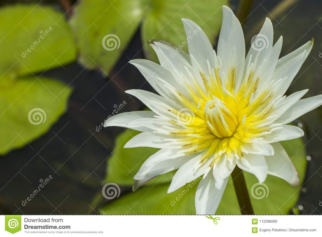 Elegant White Lily Flower Lotus In Water The Lotus Flower Water