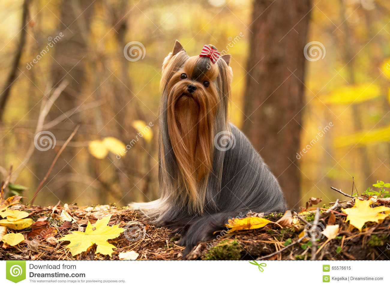 Elegant Yorkshire Terrier With Long Hair Stock Image Image