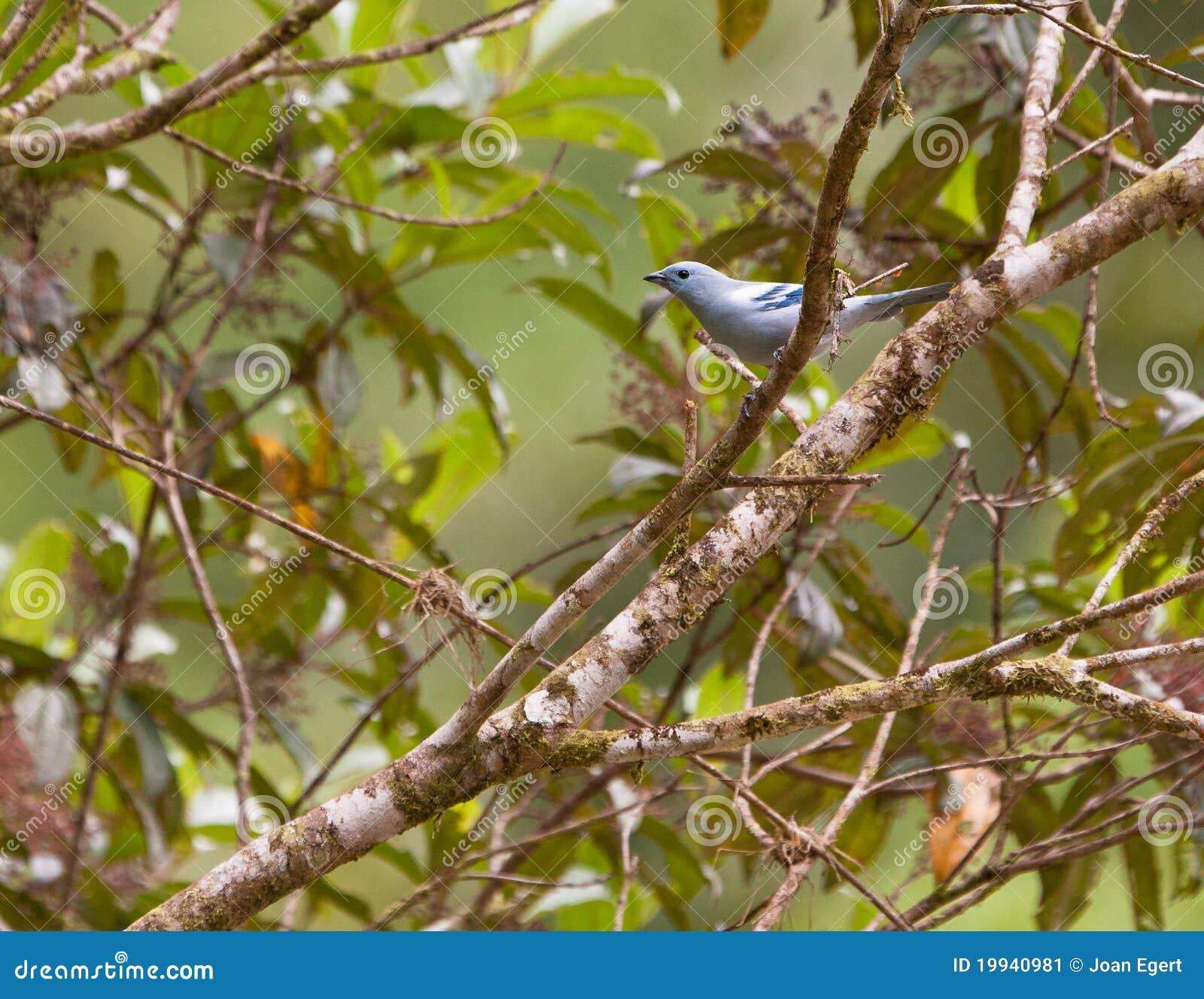 Elegante blauw-Grijze Tanager