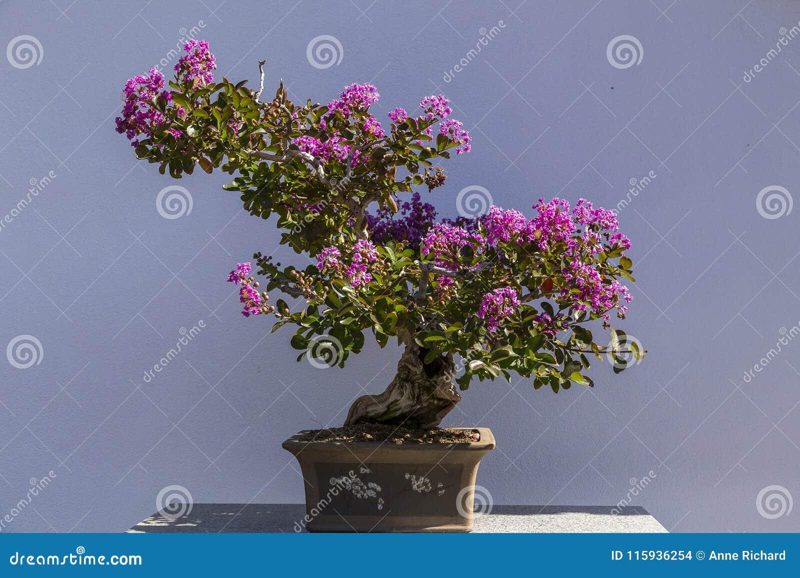 Elegante succulente bonsai met bloeiende roze bloemen in bruine kleipot