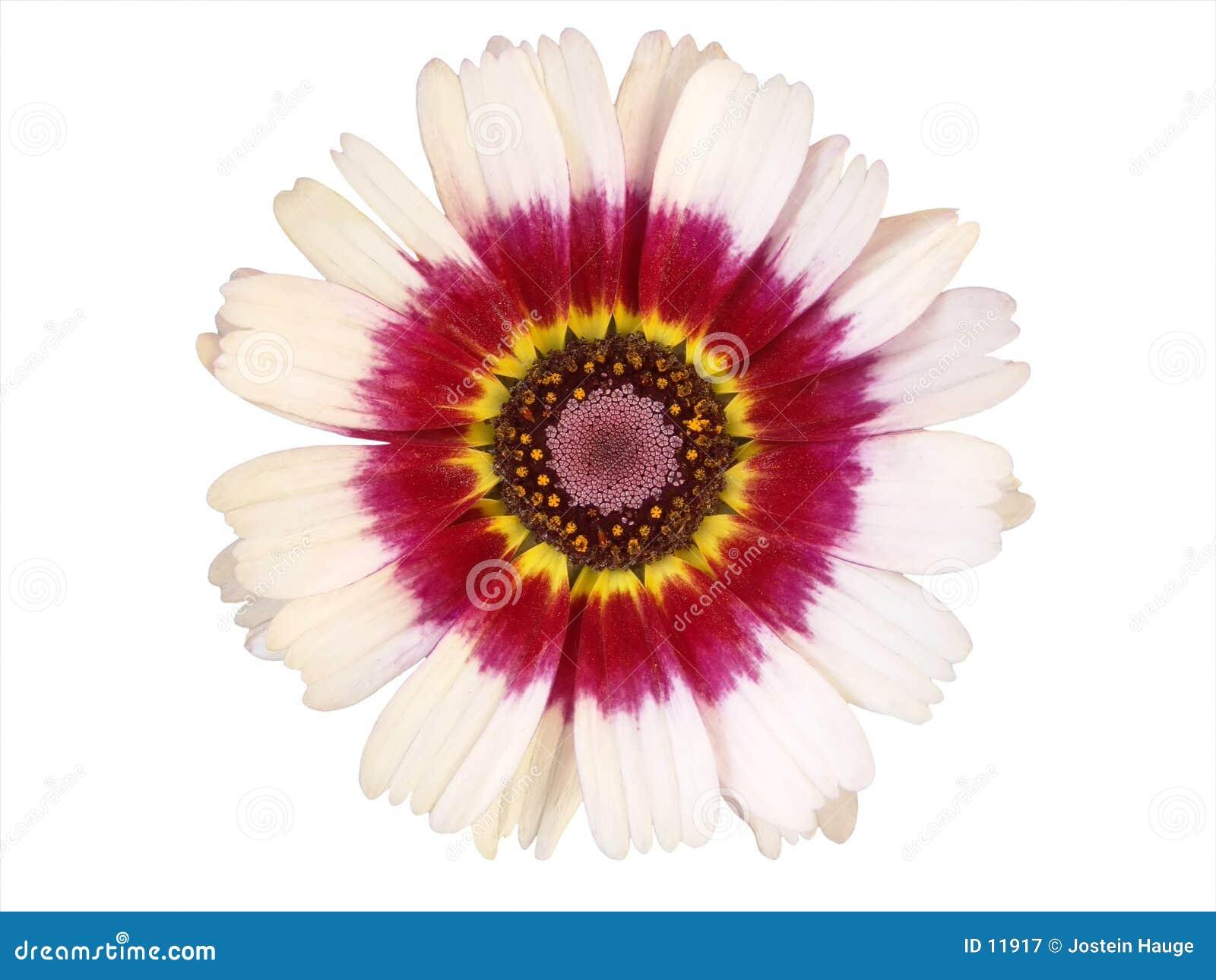 Elementi di disegno: Testa di fiore variopinta