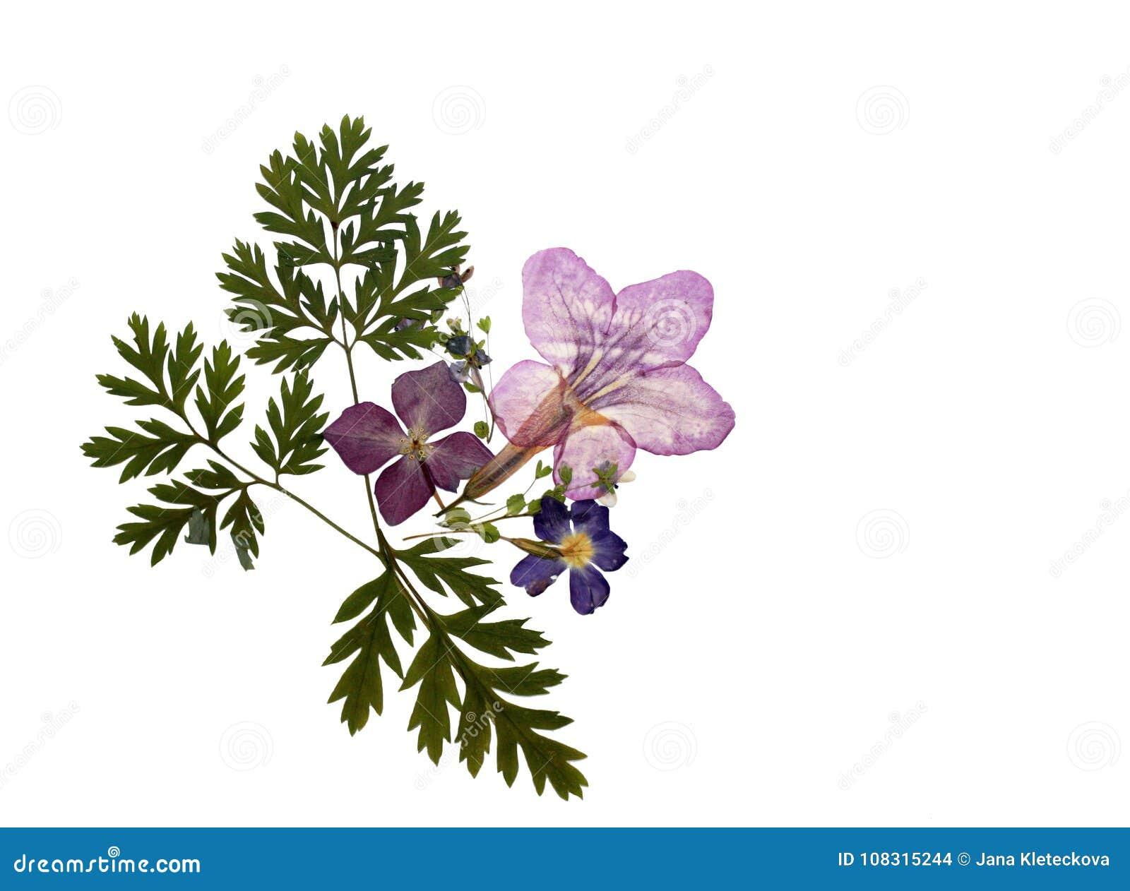 Elemento floral presionado natural hermoso del ramo de las flores aislado en blanco