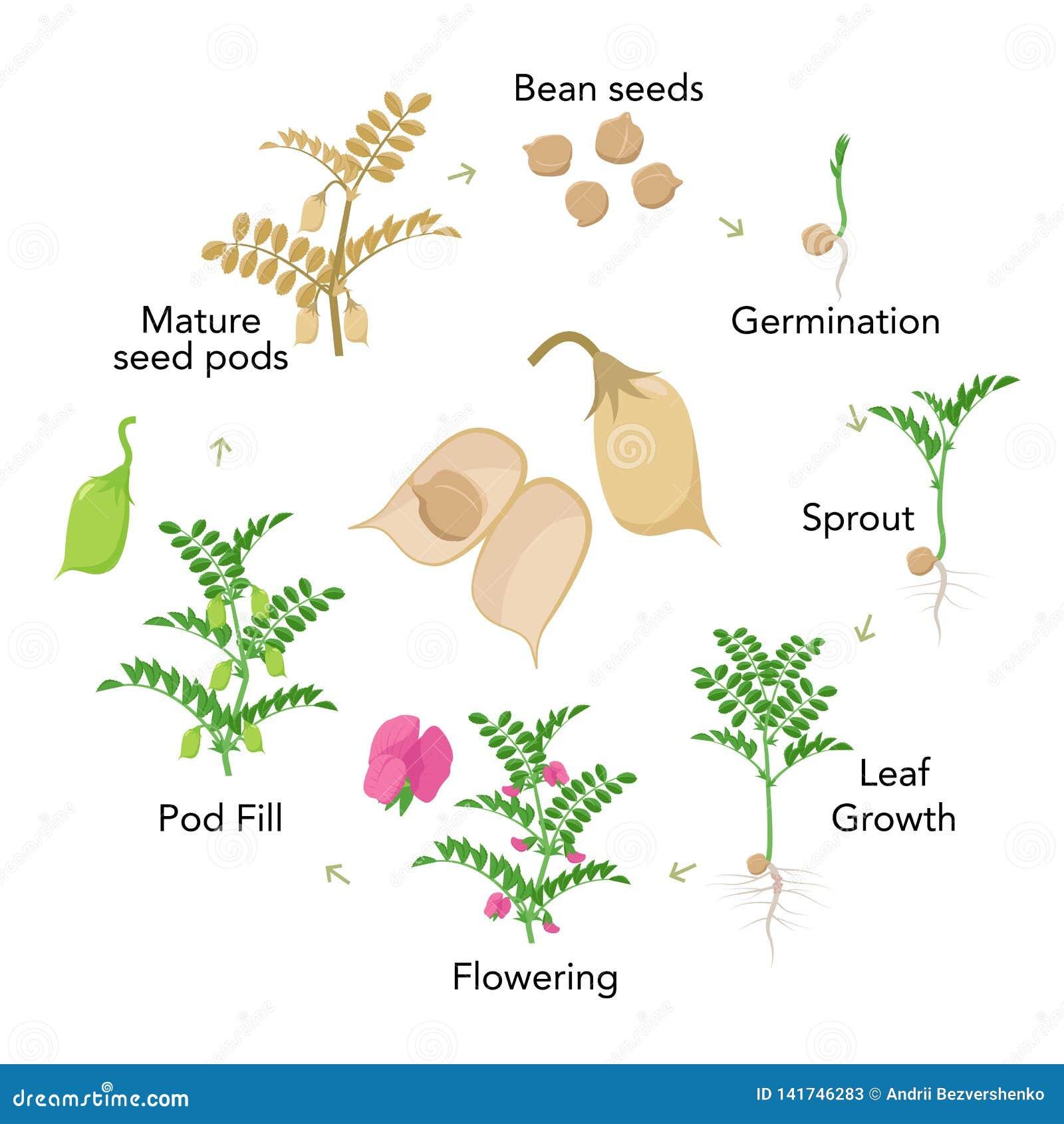 Elementos infographic das fases do crescimento vegetal do grão-de-bico no projeto liso Processo de plantação do grama das semente
