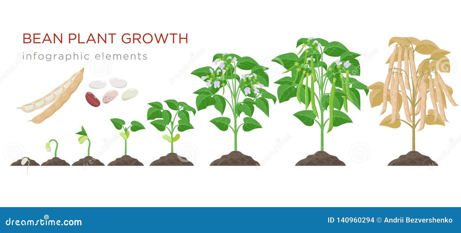 Elementos infographic de las etapas del crecimiento vegetal de haba en diseño plano El proceso de establecimiento de habas de las