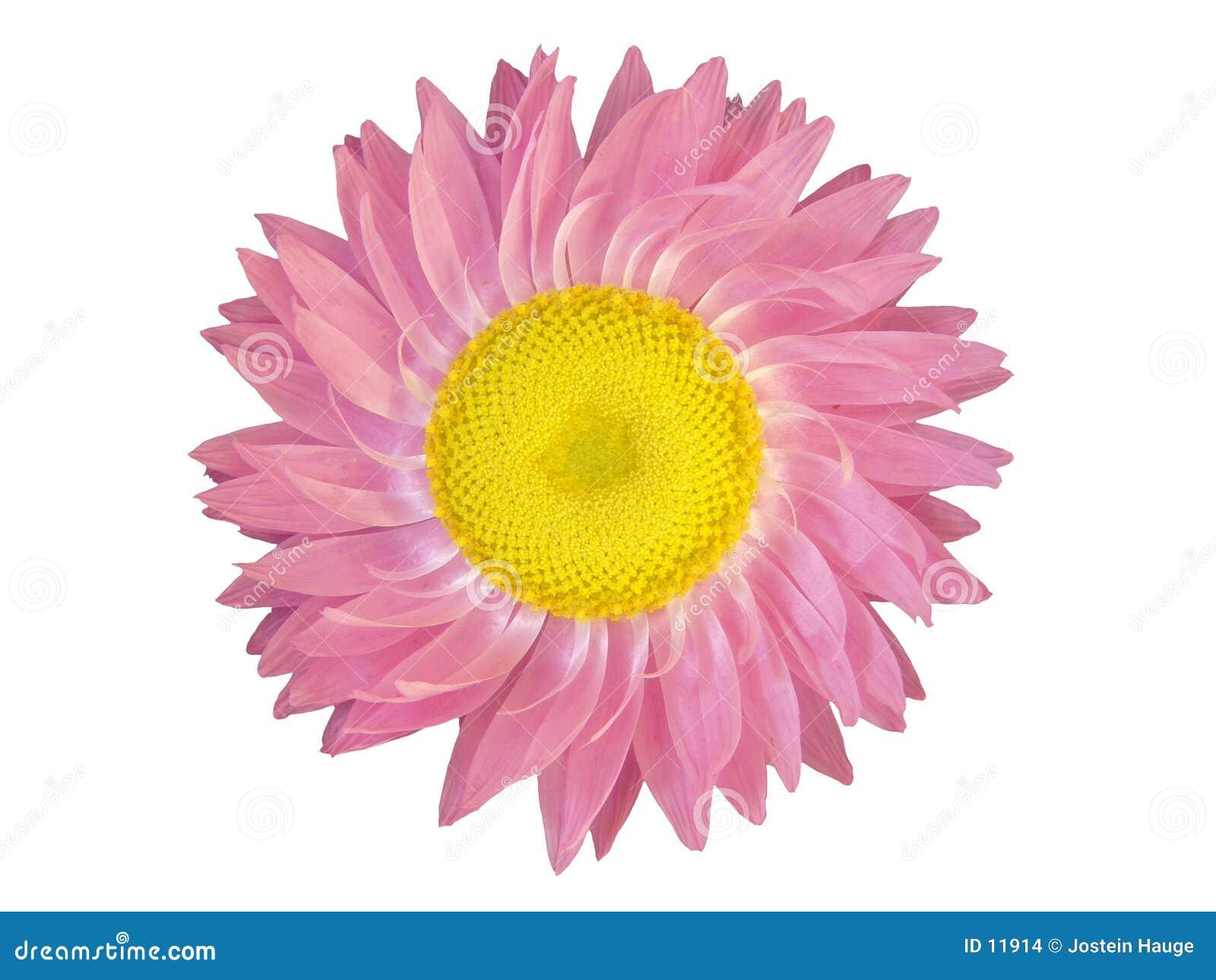 Elementy projektów głowy różowy kwiat