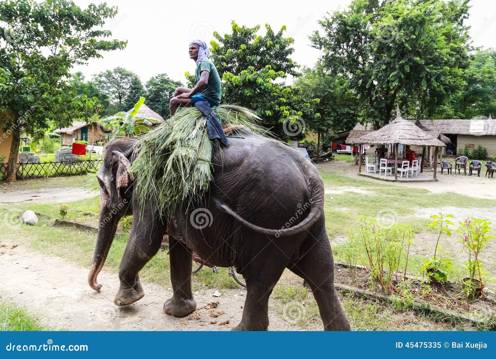 Elepant和在chitwan的司机,尼泊尔