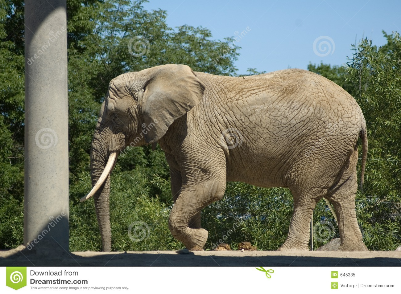 Elephant adults only are absolutely