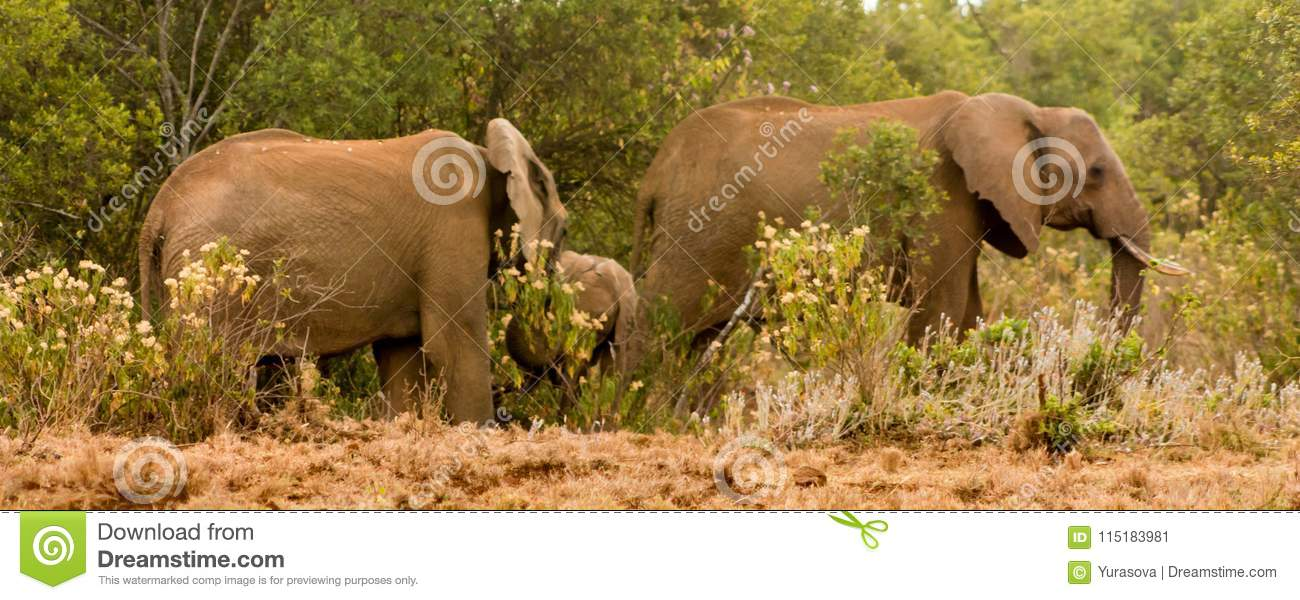 Elephant in Africa wild nature life