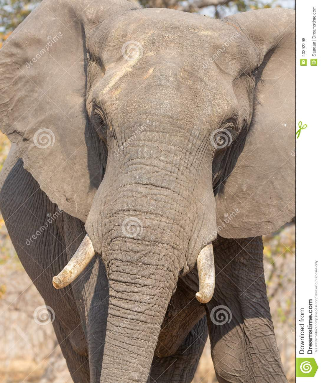 Download front view of elephant in alert in chobe national park