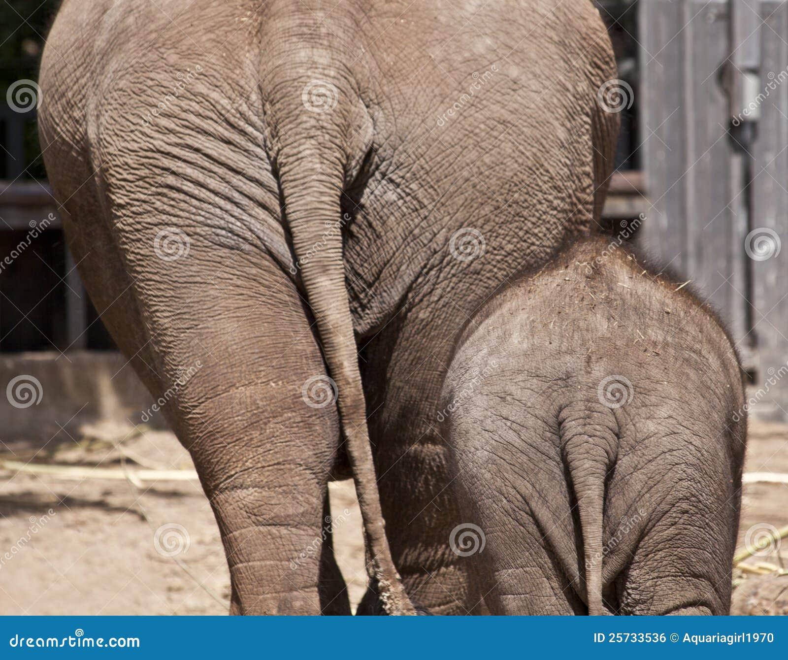 Фото задницы слона 2 фотография