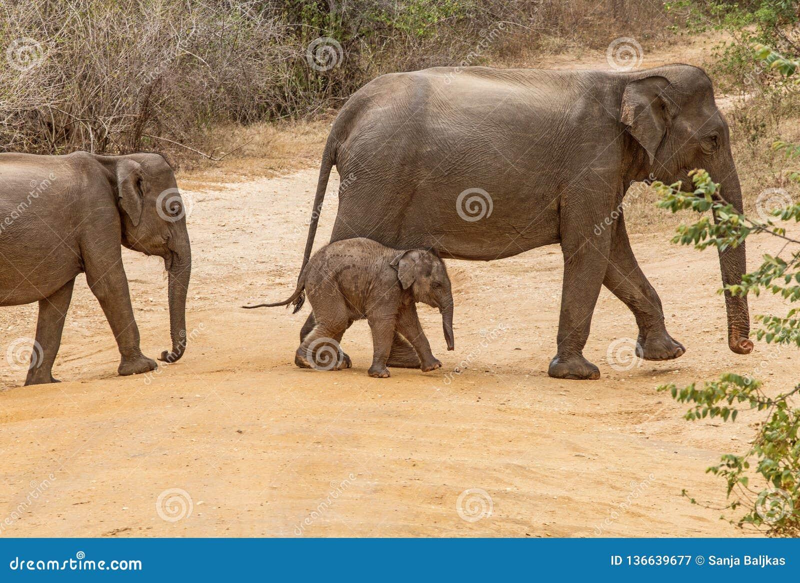 Mom Elephant with Baby in Sri Lanka