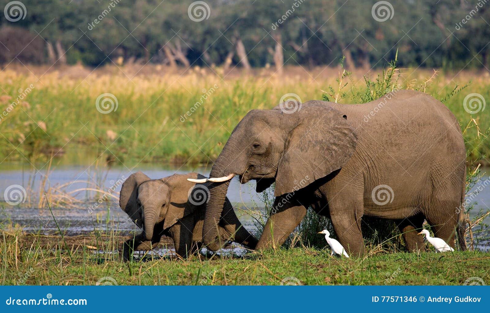 Elephant with baby near the Zambezi River. Zambia. Lower Zambezi National Park. Zambezi River.