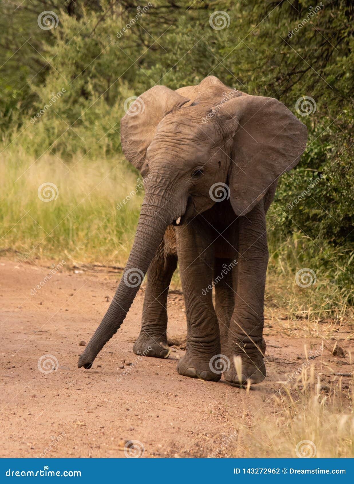 Elephant baby walking down a dirt road