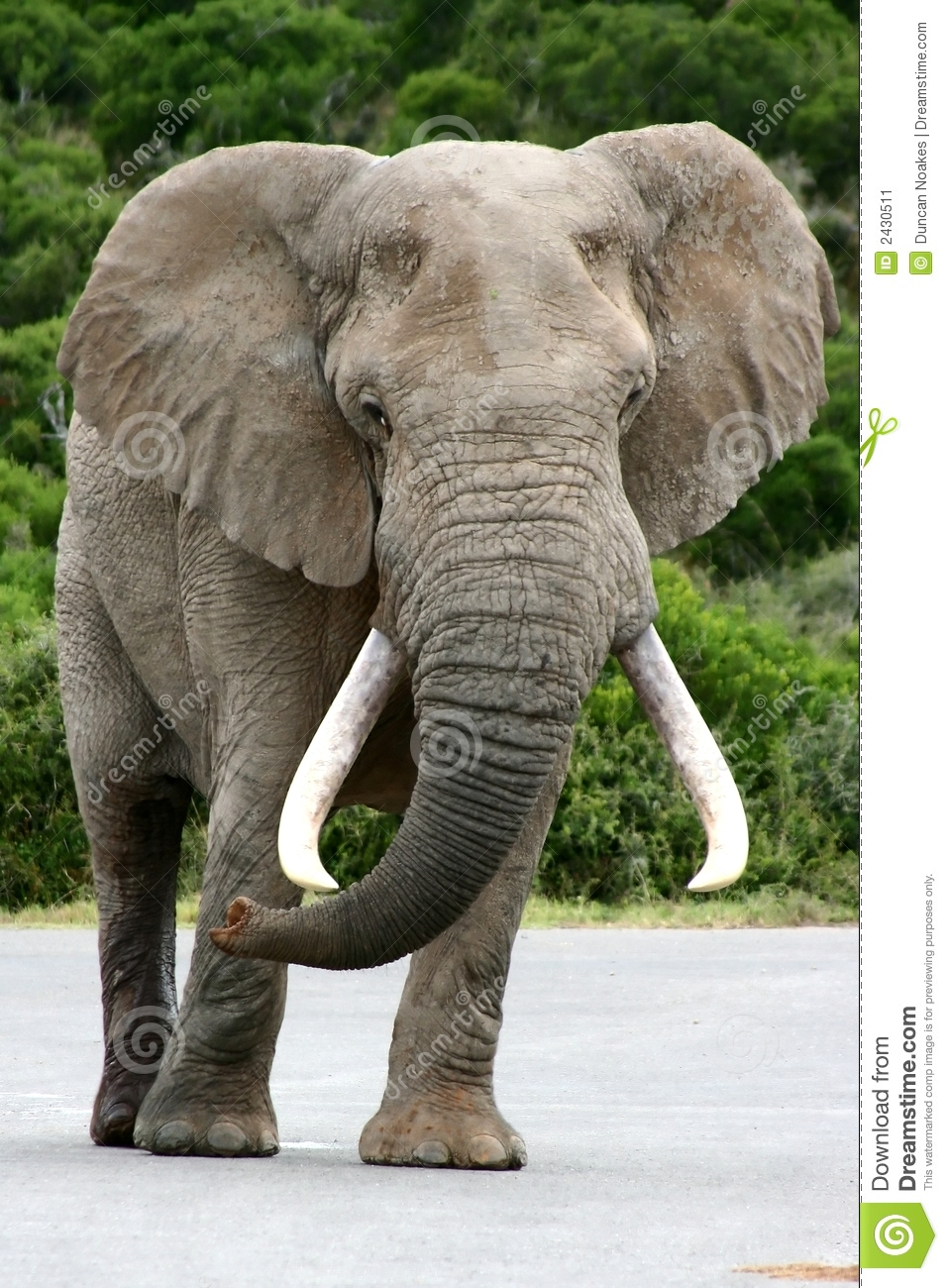 Huge African Elephant Walking To A Waterhole To Start Quenching ...