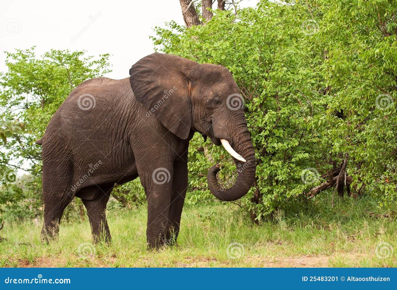 Elephant bull eating green leaves