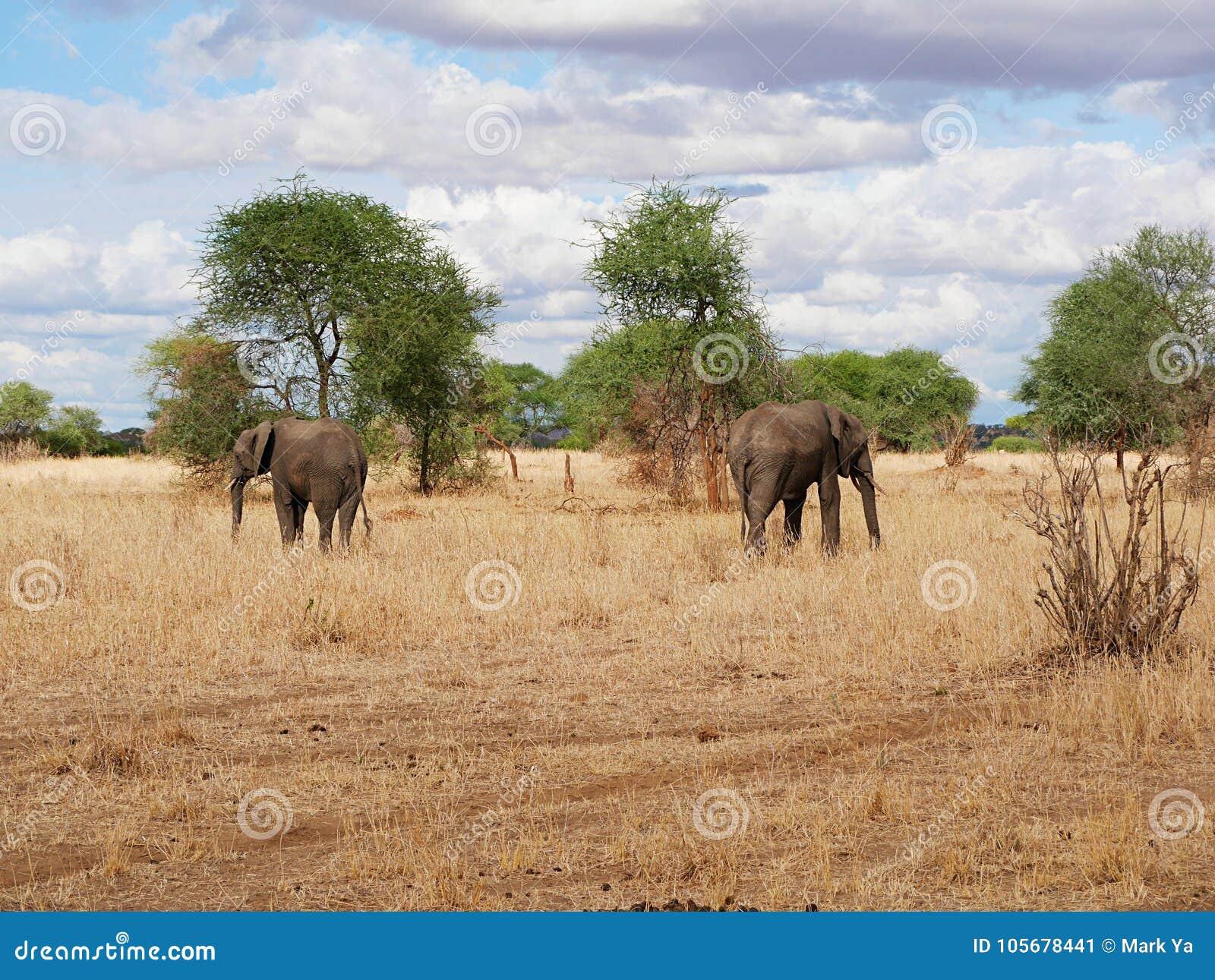 Elephant close-u on Tarangiri safari - Ngorongoro
