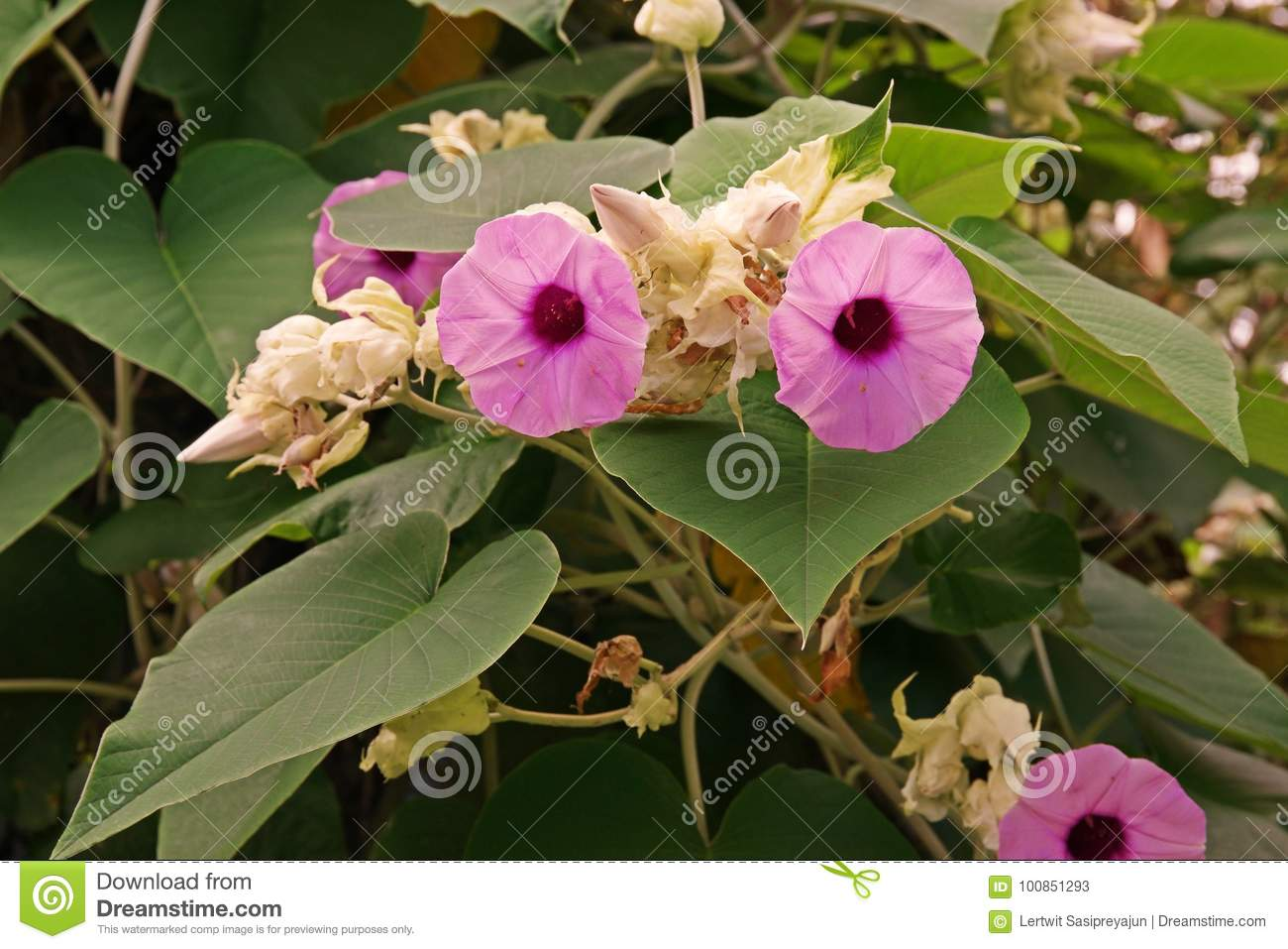 Elephant Creeper Perennial Climbing Vine Stock Image Image Of