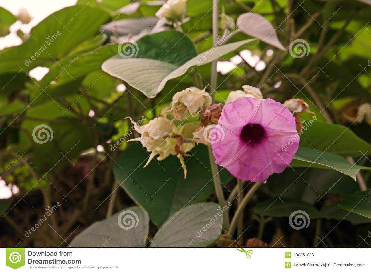 Elephant creeper perennial climbing vine stock image image of download elephant creeper perennial climbing vine stock image image of nervosa color mightylinksfo