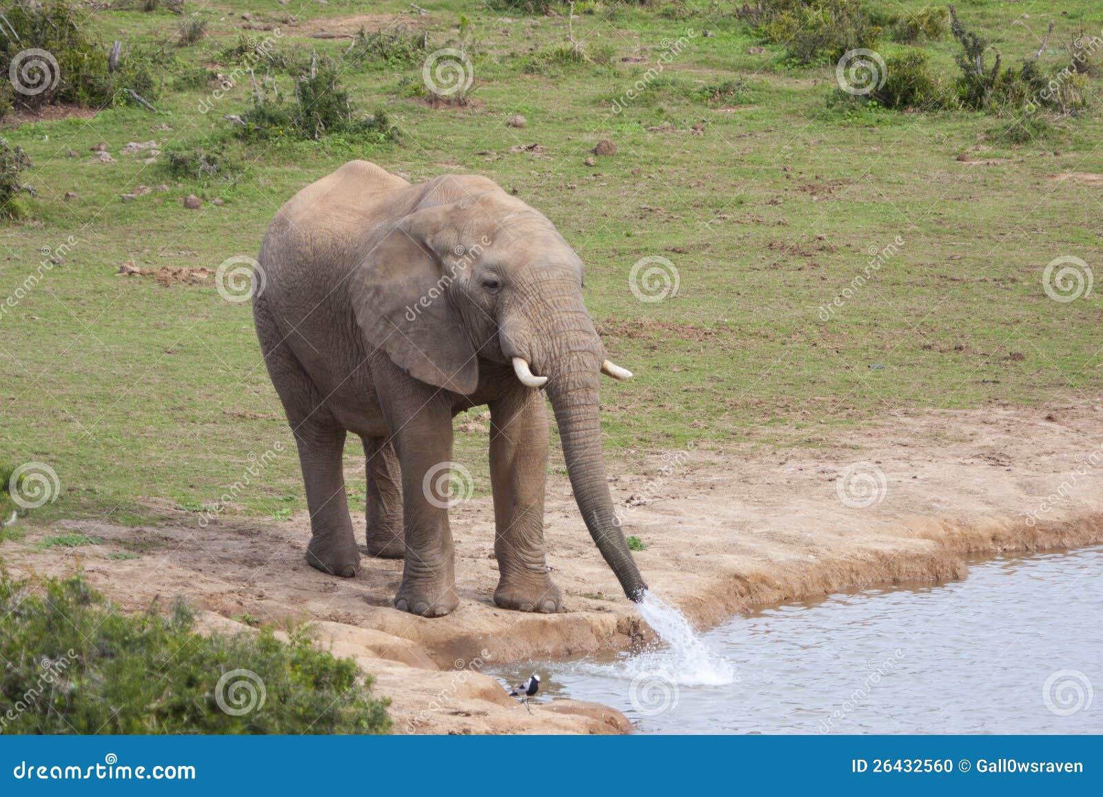 Elephant drinking water stock photo. Image of nature ...