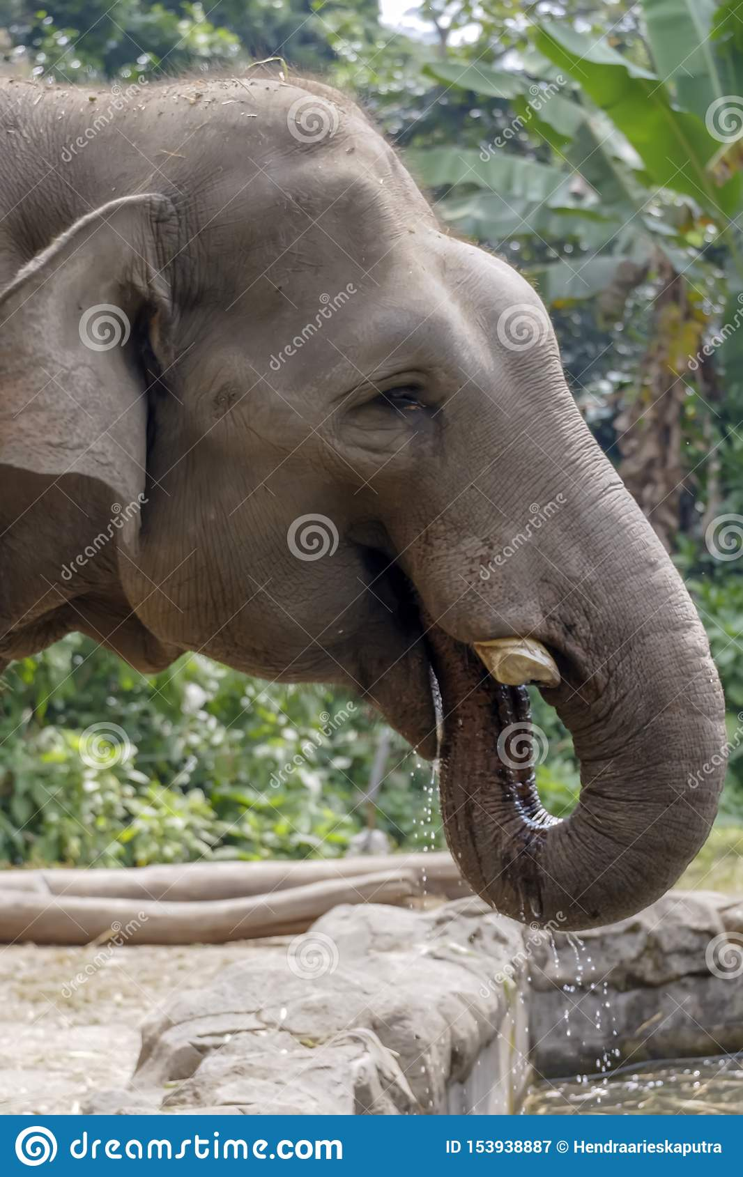 AN ELEPHANT DRINKING WATER WITH TRUNK