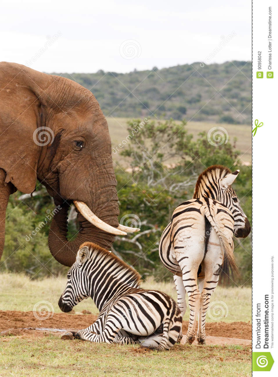 Elephant drinking water while the Zebras are waiting