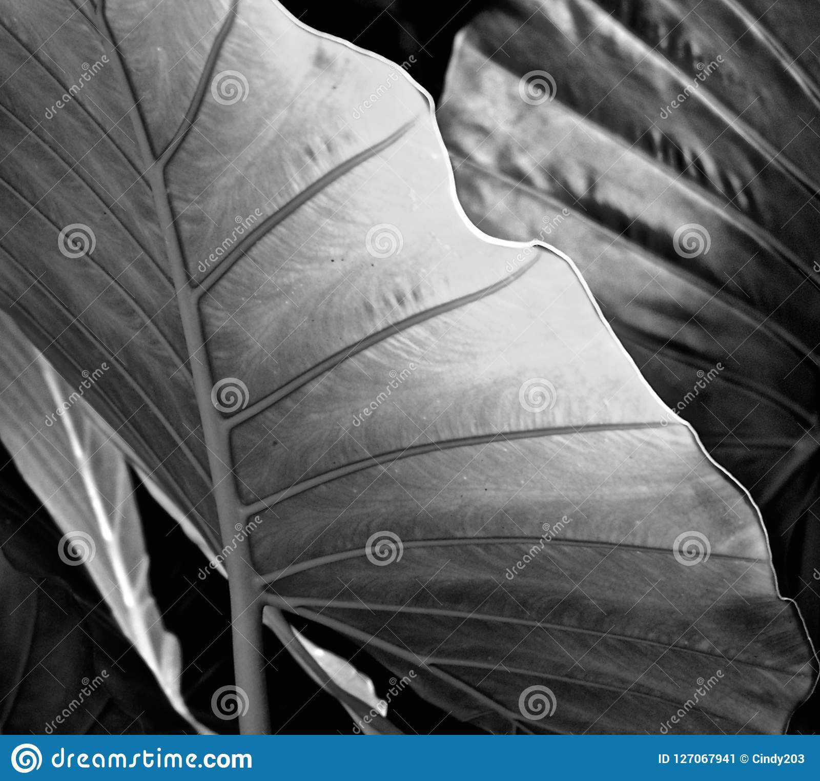 Elephant Ear leaves Taro Colocasia Esculenta black & white / detail