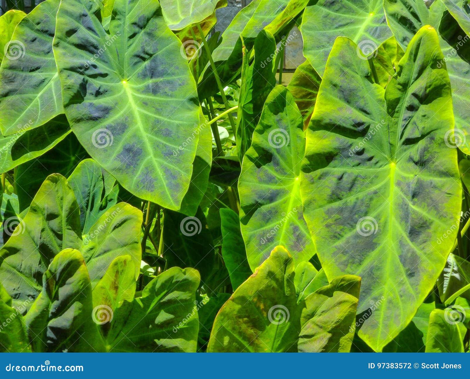 Elephant Ear Plant Stock Photo Image Of Plant Poisonous 97383572
