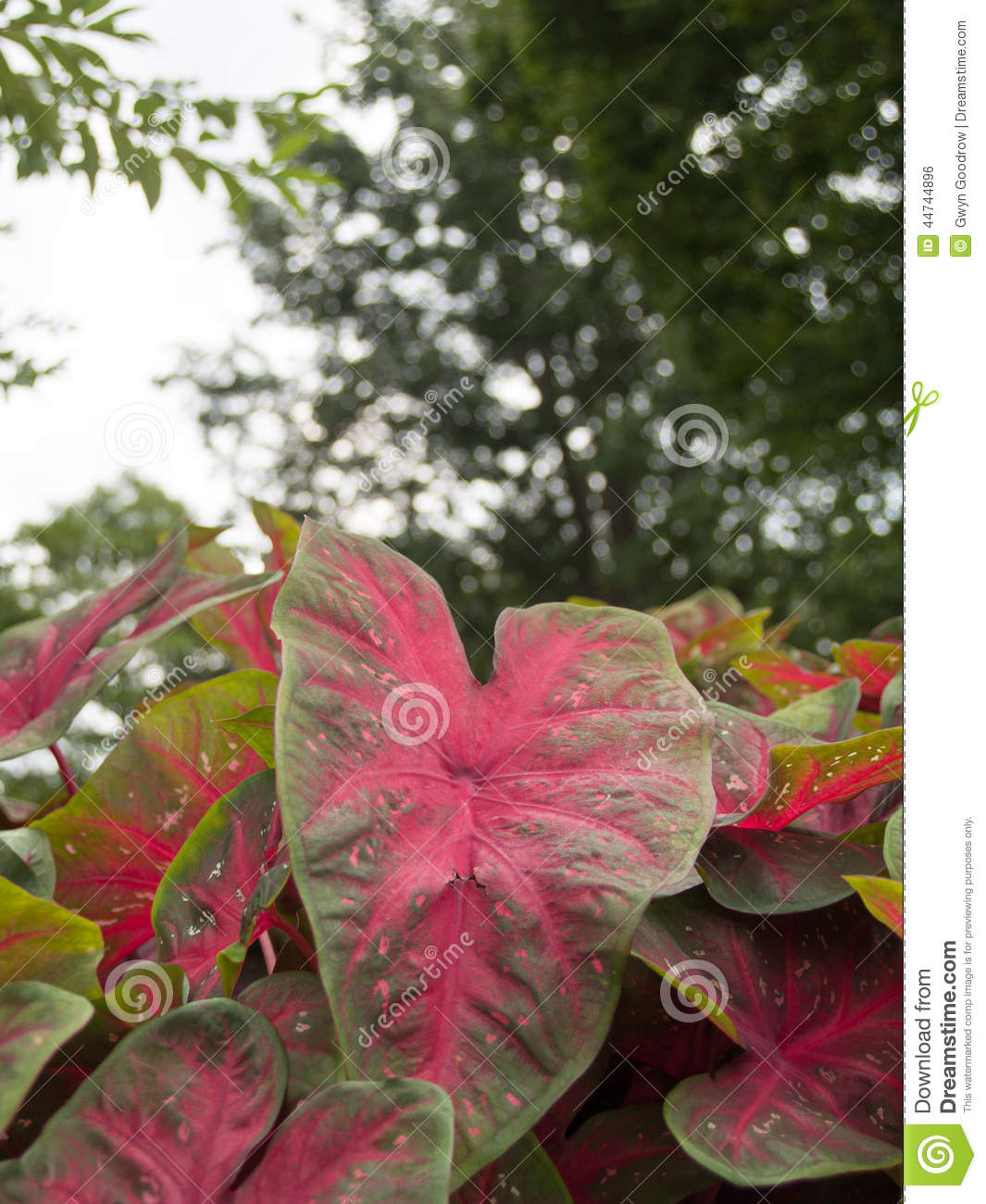 Elephant Ear Plant Stock Photo Image Of Colocasia Green 44744896