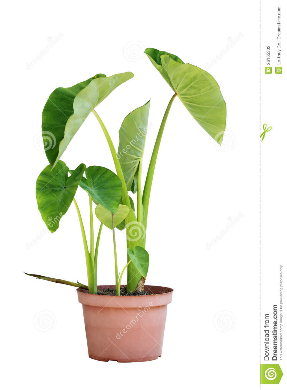 11 125 Elephant Ear Photos Free Royalty Free Stock Photos From Dreamstime Use these free elephant ear png #164485 for your personal projects or designs. dreamstime com